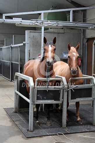 Twee paarden in opvoelbox
