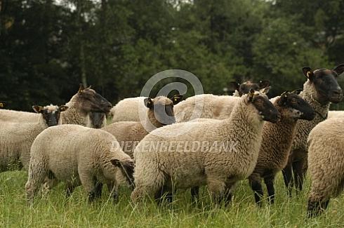 Cambridge schapen