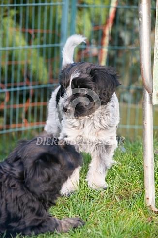 Schapendoes pup
