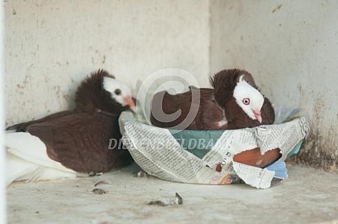 Broedende Oud Hollandse kapucijn duif