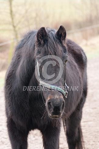 Oud renpaard