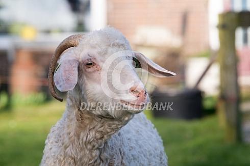 Portret van een angora geit