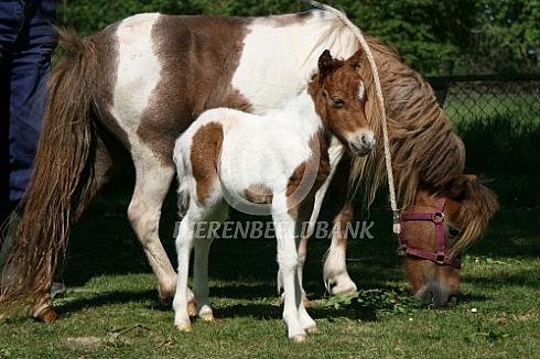Amerikaanse miniatuurpaardje met veulen