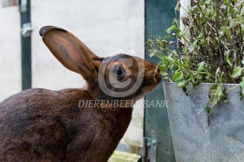 Belgische haas eet van plant