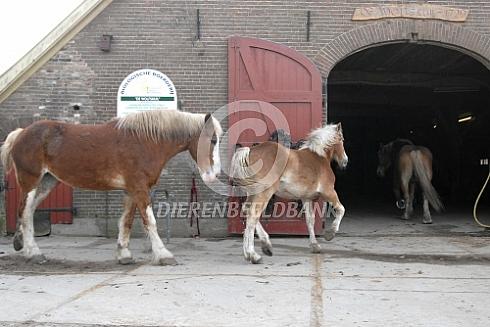 Vlaamse paarden naar de stal
