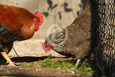 Huis- tuin- en keuken kippen