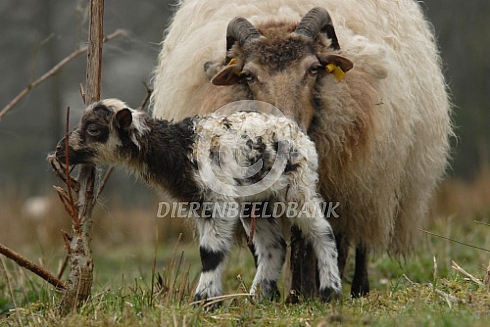 Net geboren lam drents heideschaap