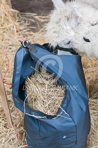 Alpaca eet hooi uit hooizak