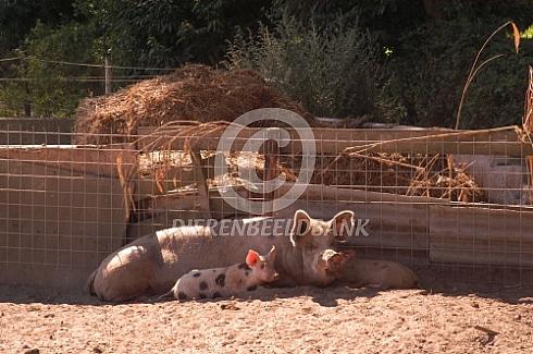 Scharrelvarkens met bis