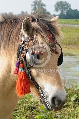 Fjordenpaard, klaar voor vertrek
