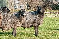 Gotland Pels schapen