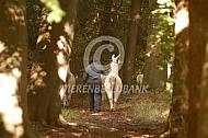 Aan de wandel met een lama