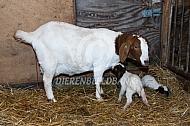 Boergeit met pasgeboren lam