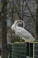 Witte pauw op een hek