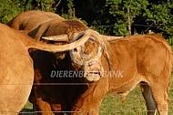 Flemende Limousin stier