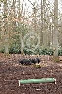 Gasconne varkens in het bos