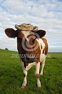 Fries roodbont zonder oormerken