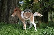 Veulen Amerikaanse miniatuurpaard