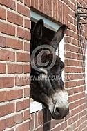 De Poitou ezel op stal