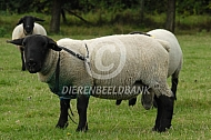 Suffolk ram met dekblok