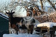 Nederlandse Landgeit in de sneeuw