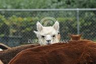 Nieuwsgierige alpaca
