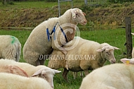 Friese melkschapen dekking