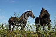 Friese paarden langs de sloot