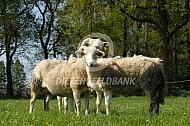 Wiltshire Horn