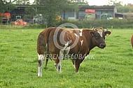 Verbeterd roodbonte koe