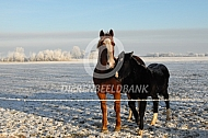 Gelderse tuigpaarden in de sneeuw