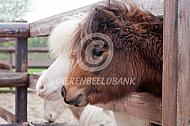Twee minipaarden