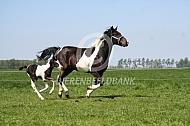 Galopperend paard met veulen