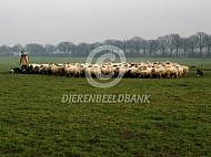 Kudde schapen met herder