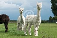 Nieuwsgierige alpaca's