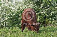Rode geus in natuurgebied, stier