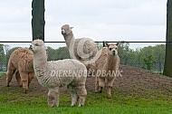 Alpaca op een hauvel