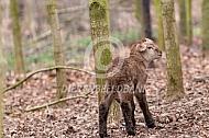 Pasgeboren bruin haarschaap lam