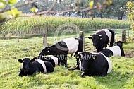 Koppel Lakenvelder runderen