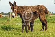Poitou ezel met drinkend veulen