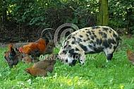 Hobbyvarken met kippen