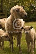 Wensleydale Longwool met lammeren