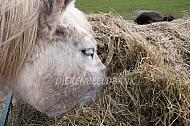 Paard eet hooi uit ruif