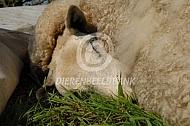 Dood schaap