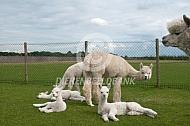 Alpaca met cria's