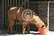 Lama eet uit emmer