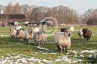 Wensleydale Longwool in de winter