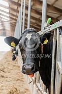 Fries Hollandse koe op stal