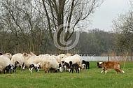 Hond waakt oevr drentse heideschapen