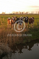 Holstein Friesian jongvee langs de sloot